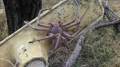 Größte Spinne der Welt in Australien entdeckt