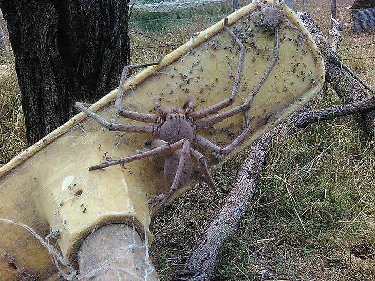 """Huntsman-Spinne """"Charlotte"""" wurde von einer Tierrettung in Australien entdeckt"""