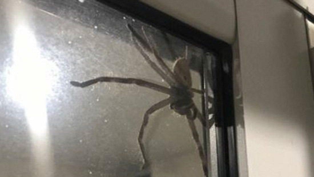 Ungebetener Dinner-Gast: Ein gigantische Huntsman-Spinne an einer Küchentür in Australien