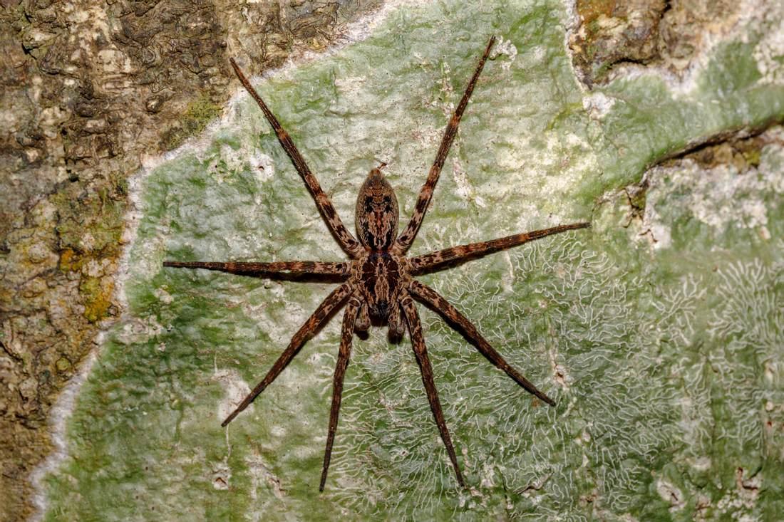 Huntsman-Spinne