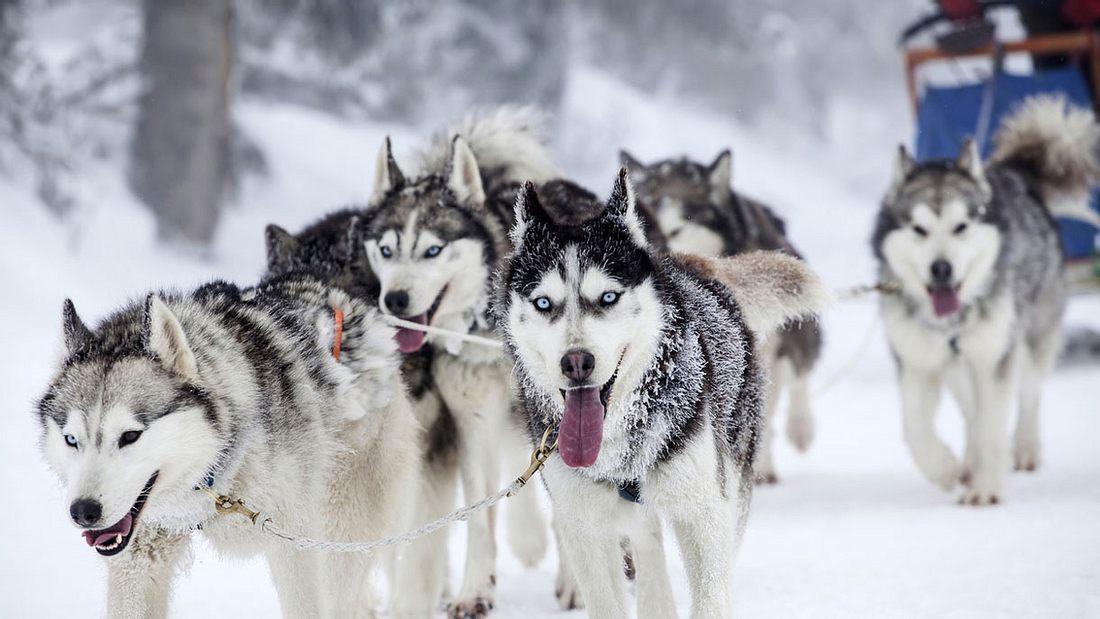 Enthusiastisches Team von Hunden in einem Hundeschlitten-Rennen