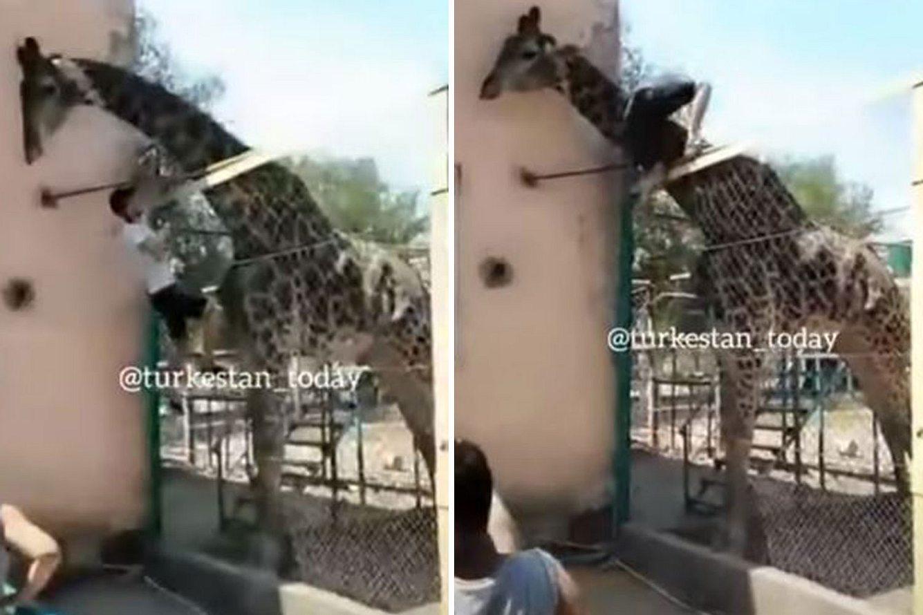 Mann klettert in Giraffen-Gehege