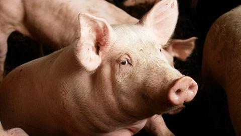 Hausschweine fressen Landwirt auf