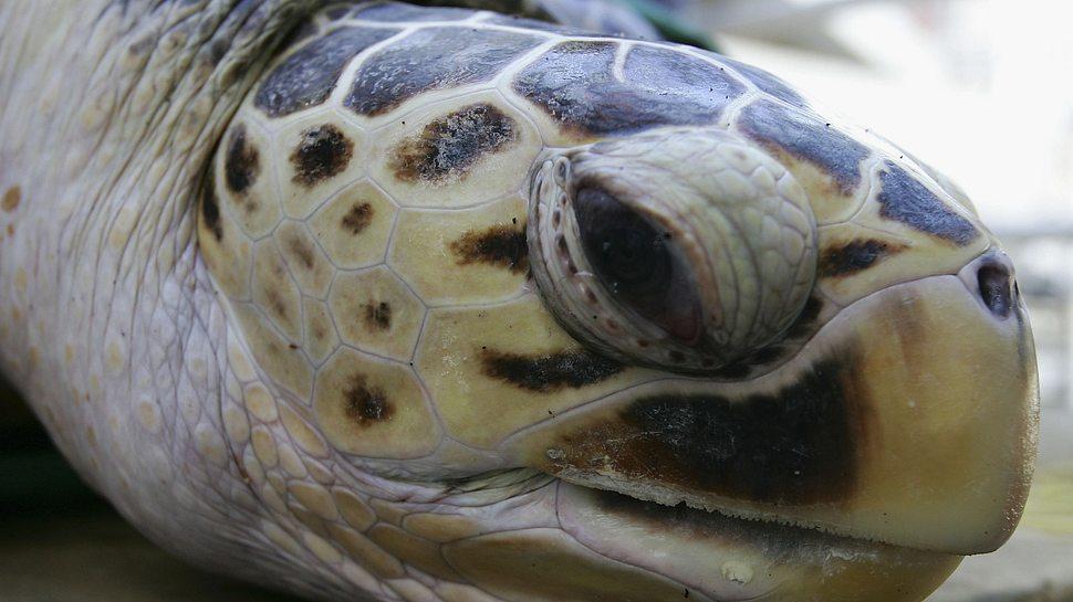 Lederschildkröte - Foto: GettyImages/Cameron Spencer
