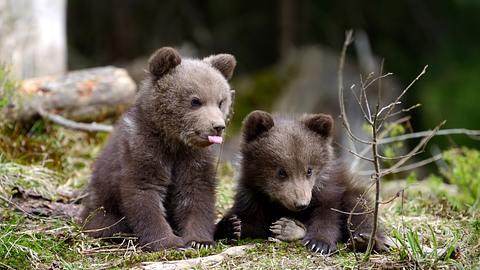Wildhüter vor Gericht, weil er sich weigerte Bären-Kinder zu töten