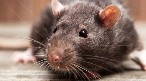 Ratte bricht in Geldautomaten ein - und vernichtet knapp 20.000 Euro