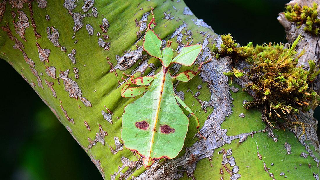 Sich als Blatt tarnendes Insekt