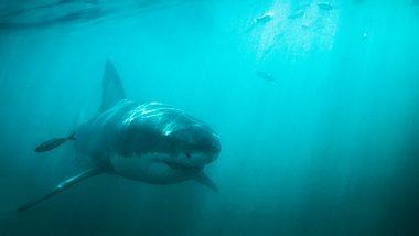 Weißer Hai - Foto: iStock/Yuri