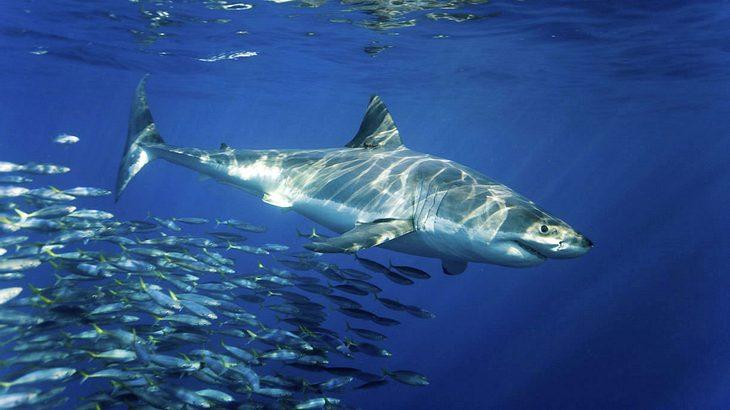In das Maul eines Riesenhais würde ein Mensch problemlos hinein passen