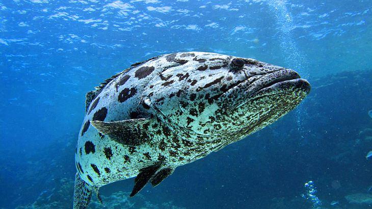 Riesenzackenbarsche sind Zwitter: Sie beginnen ihr Leben als Weibchen und werden dann meist zum Männchen