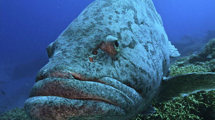 Riesenzackenbarsche machen auch vor Haien nicht halt. Die zermalmen sie vor dem Schlucken mit den riesigen Kieferplatten