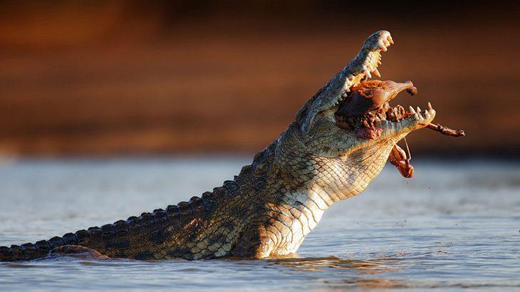 Das Krokodil gewinnt fast jeden Kampf auf Leben und Tod