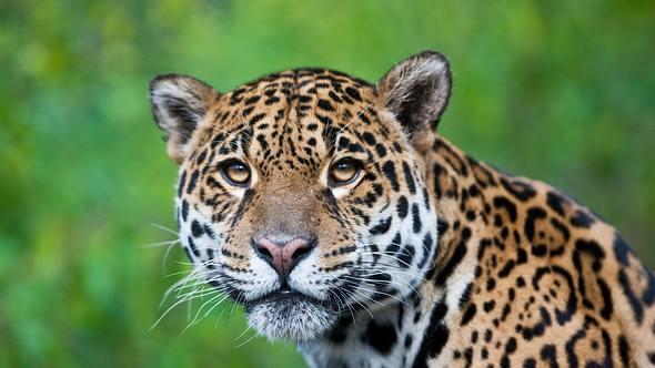 Jaguar-Mutter mit ihren zwei Jungen von Wilderer abgeschlachtet