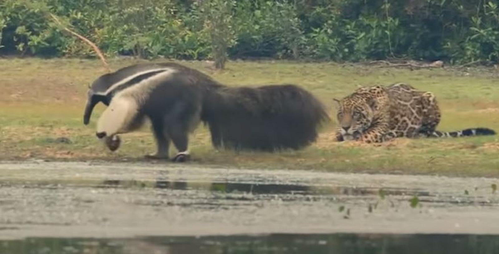 Damit hat er nicht gerechnet: Jaguar trifft auf riesigen Ameisenbär