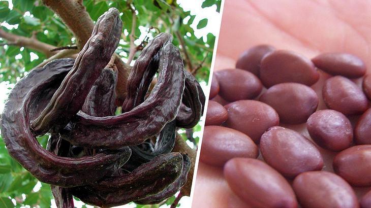 Johannisbrotbaum Früchte und ihre Samen