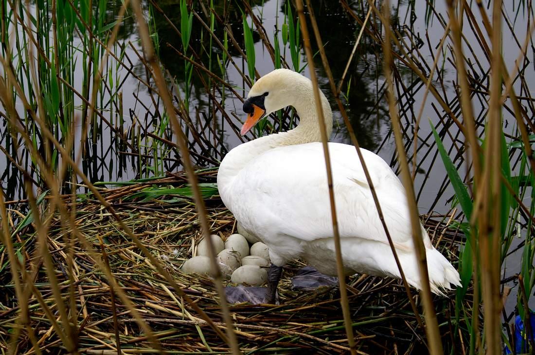 Schwan an seinem Nest