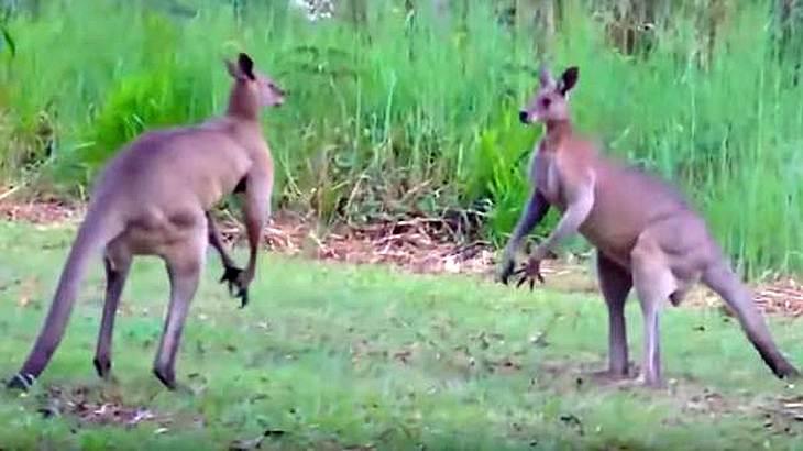 Zwei männliche Kängurus kämpfen