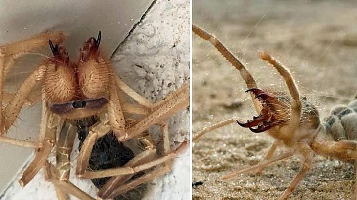 Die Kamelspinne: Ein Hybrid aus Spinne und Skorpion