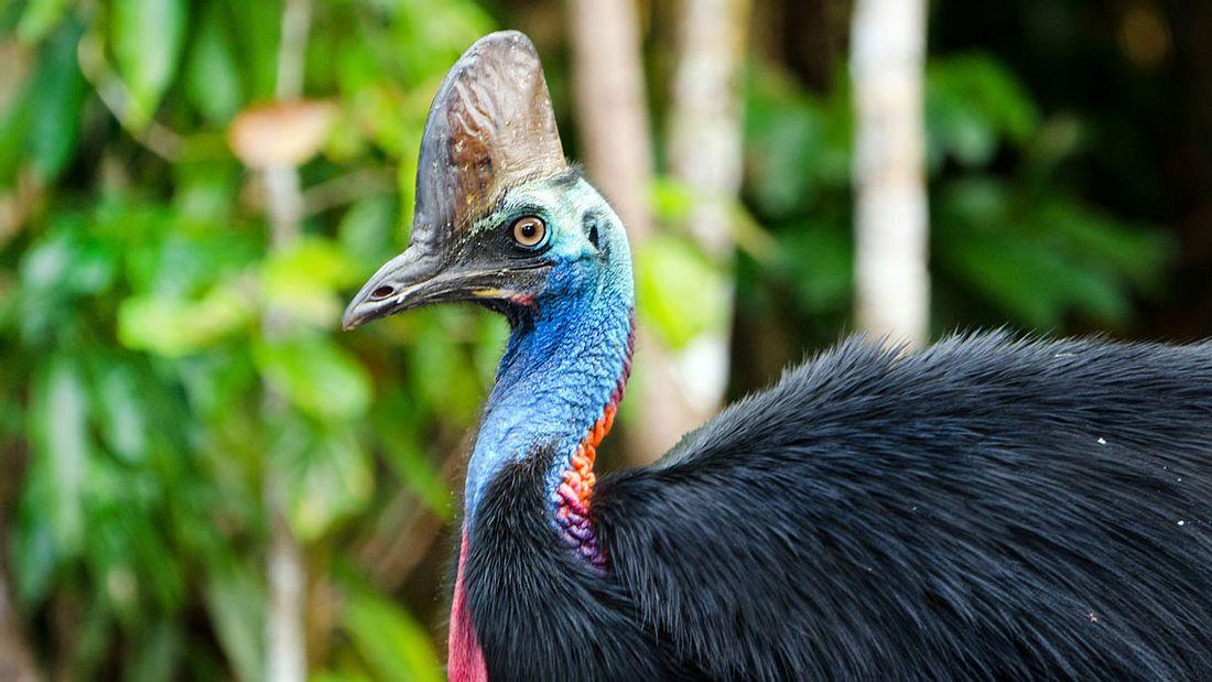 Kasuare: Die tödlichsten Vögel der Welt | Männersache