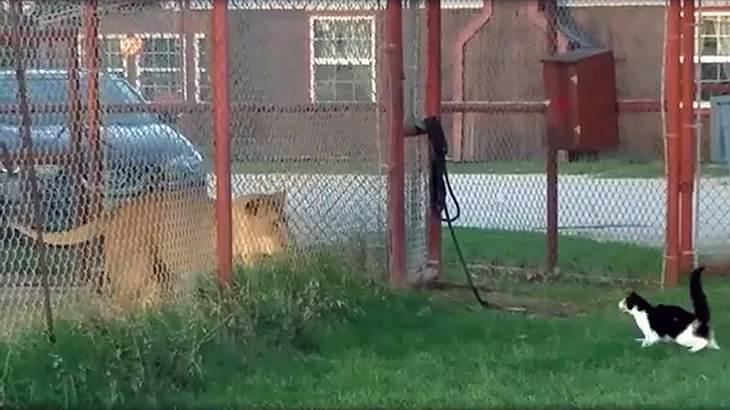 Eine Hauskatze attackiert einen Löwen