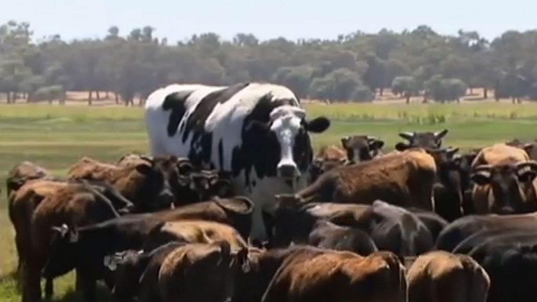 Knickers ist die größte Kuh der Welt. - Foto: YouTube/Guardian News