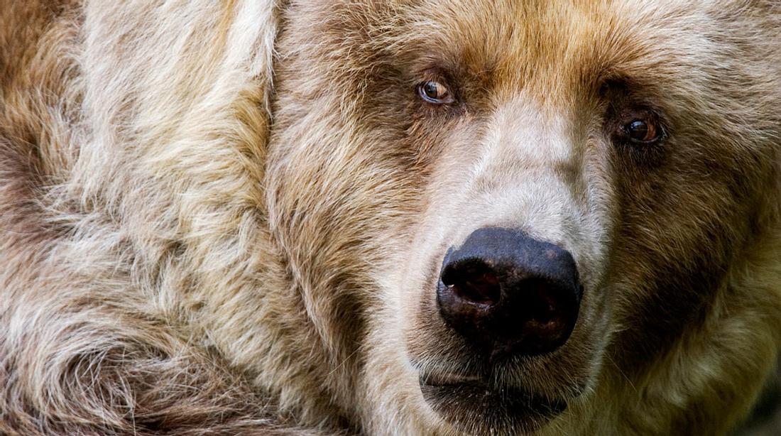 Der Kodiakbär ist der größte Bär der Welt