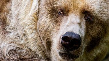 Der Kodiakbär ist der größte Bär der Welt - Foto: iStock / mccawleyphoto