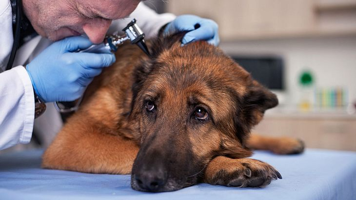 Diese Hunderassen müssen oft zum Arzt