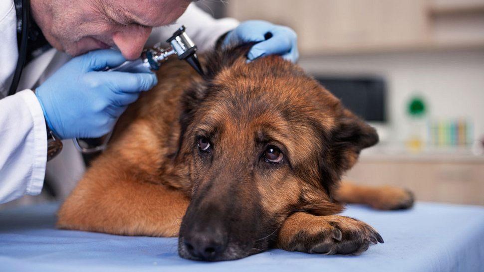 Diese Hunderassen müssen oft zum Arzt - Foto: iStock / pyotr021