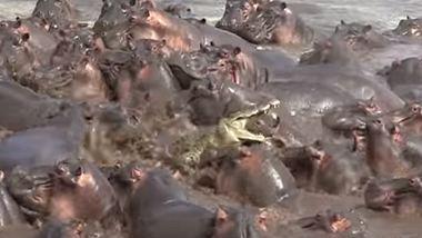 Ein Krokodil versuchte ein Baby-Hippo anzugreifen