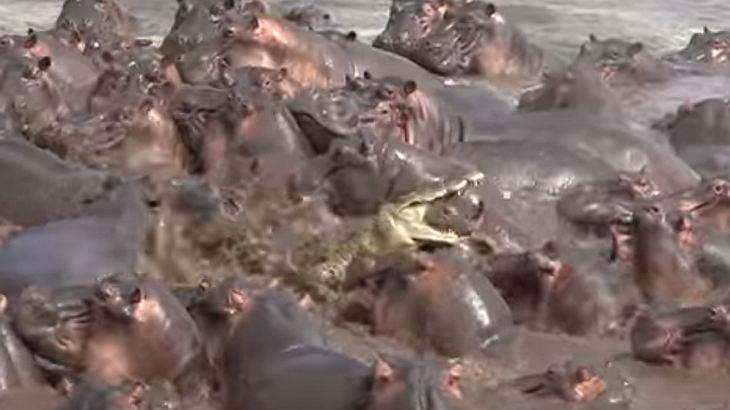 Krokodil traut sich in Hippo-Herde
