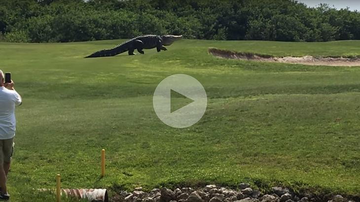 Dieser Riesen-Alligator spazierte über einen Golfplatz in Florida