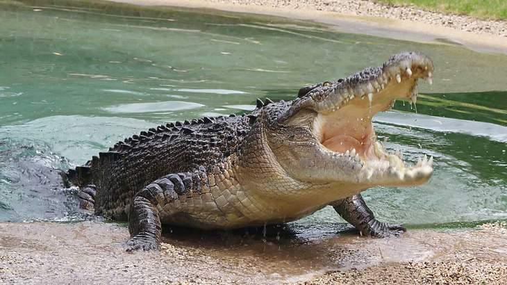 Die gefährlichen Reptilien werden auch lebende Fossilien genannt