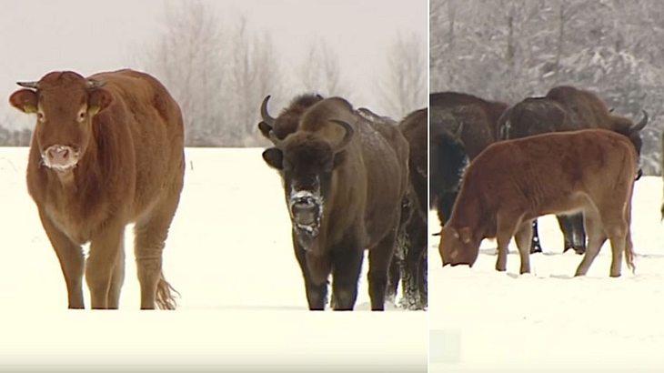Kuh entflieht Farm – und lebt seitdem mit einer Herde Bisons