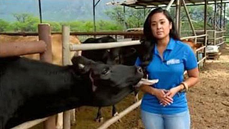 Fernseh-Reporterin Jobeth Devera wird während einer TV-Aufzeichnung von einer Kuh belästigt