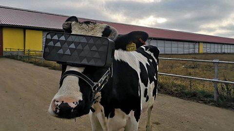 Russischer Bauernhof stattet Kühe mit VR-Brillen aus