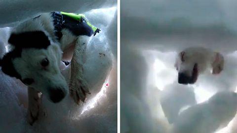 Ein Lawinenhund im Einsatz - Foto: YouTube / Drez Vidz
