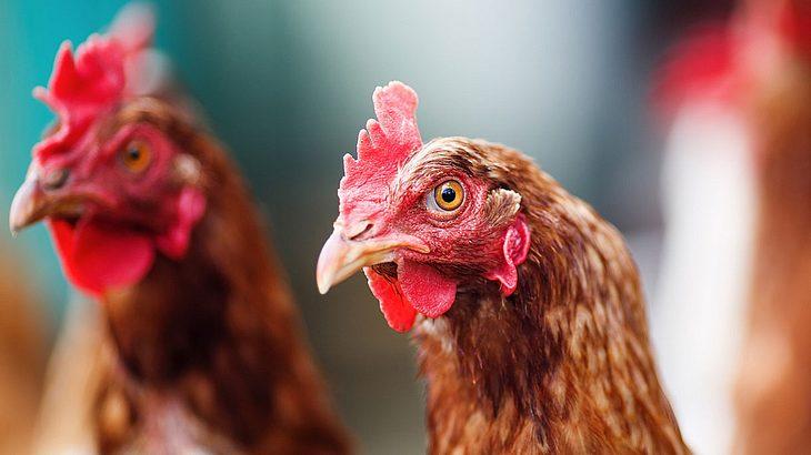 Hühner töten Fuchs in Frankreich (Symbolfoto).