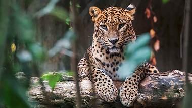 In Mumbai wachen Leoparden über die Stadt - Foto: iStock / msan10