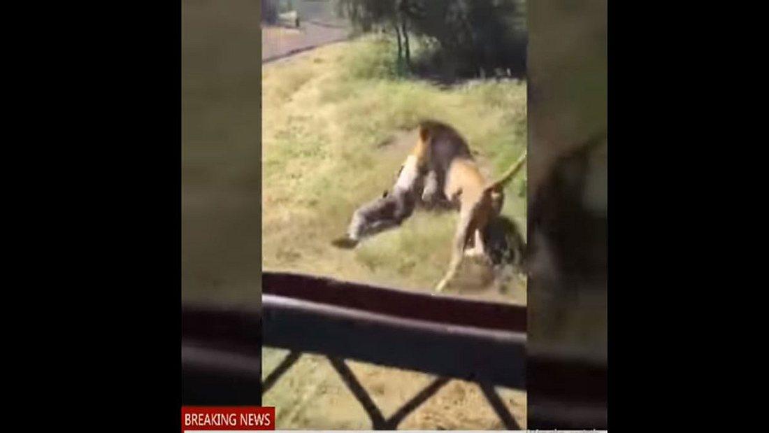 Pfleger wird von Löwen attackiert