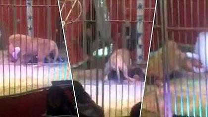 Zirkus-Dompteur wird brutal von Löwen attackiert
