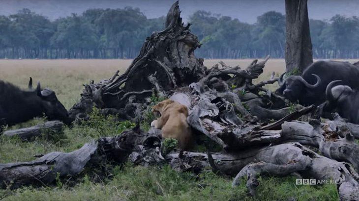 Löwenmutter kämpft  gegen eine Herde Büffel