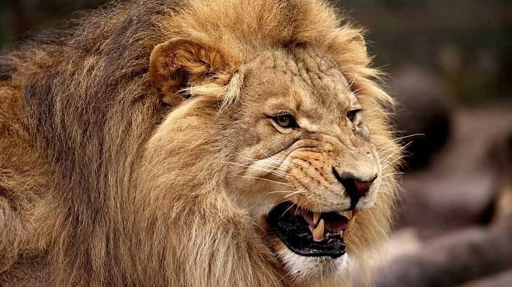 Der Löwe: Alles andere als eine Miezekatze