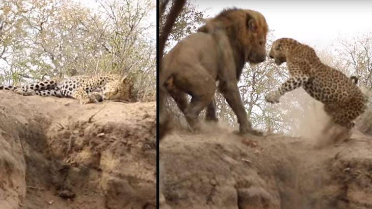 Löwe prügelt Leopard aus dem Traumland in die brutale Realität
