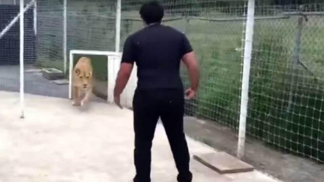 Ein Tierpfleger trifft auf eine Löwin
