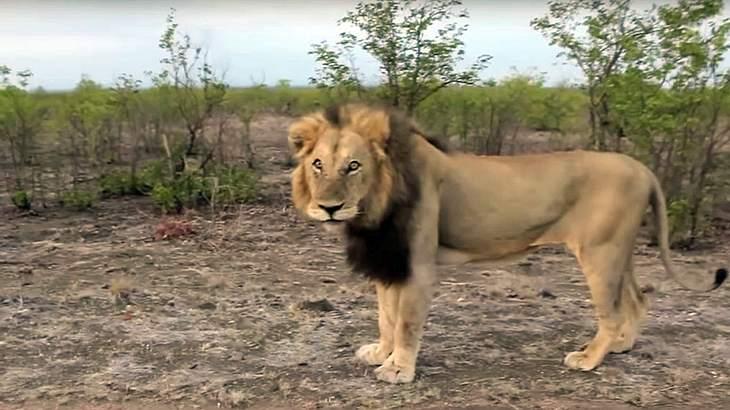 Eine Safari-Tourist in Indien provoziert einen Löwen