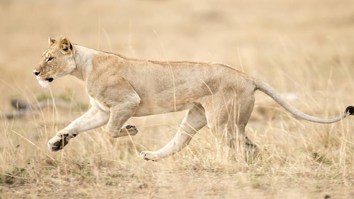 Mann will Löwen erschießen: Was dann passiert, bleibt rätselhaft