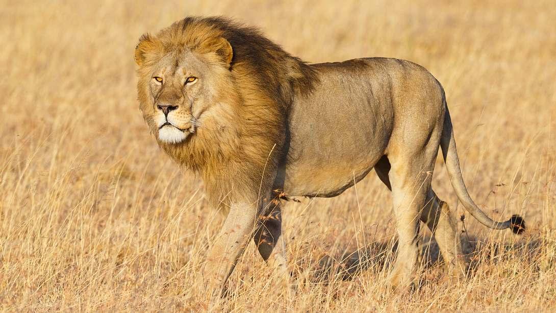 Mann will Löwen erschießen: Was dann passiert, bleibt rätselhaft - Foto: iStock / KenCanning