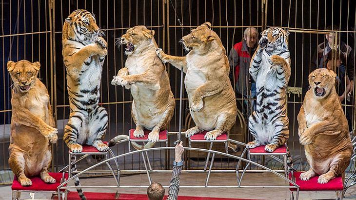 Diese Löwen sind echte Schwergewichte