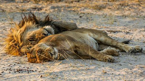 Paar knallt riesigen Löwen für romantisches Foto ab